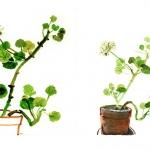 Isobel Brigham - White Geraniums 2004